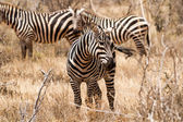 Zebras in Kenya's Tsavo Reserve — Photo