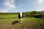 年轻的公牛 — 图库照片