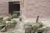 MeerKat in an enclosure — Stock Photo