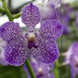 Orchid flower in the garden — Stock Photo #12578366