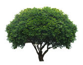 Tree isolated on white background — Stock Photo