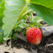 Closeup fresh strawberry on the vine — Stok fotoğraf