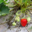 Closeup fresh strawberry on the vine - Stock Photo