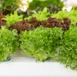 Stock Photo: Hydroponic vegetable
