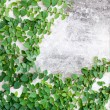 Green leaves creeper plant on the wall for background — Stock Photo