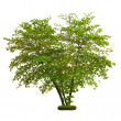 Stock Photo: Tree isolated on white background with clipping path
