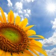 Sunflower field against blue sky and sun light — Stock Photo