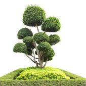 Bonsai tree in garden isolated on white — Stock Photo