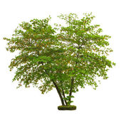 Tree isolated on white background with clipping path — Stock Photo