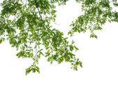 Hojas de color verde sobre fondo blanco — Foto de Stock