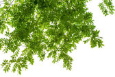 Green leaves on white background with clipping path — Stock Photo