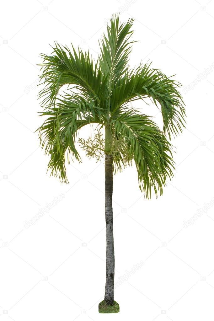 palm tree white - photo #30