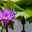 Pink Lotus flower in pond — Stock Photo