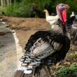 Turkey in the wildlife near road — Stock Photo