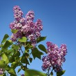 Purple Lilacs and Blue Sky — Stock Photo