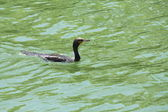 Cormorant, Double Crested — Stock Photo