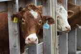 Cows in Transfer-Holding Pen — Stock Photo