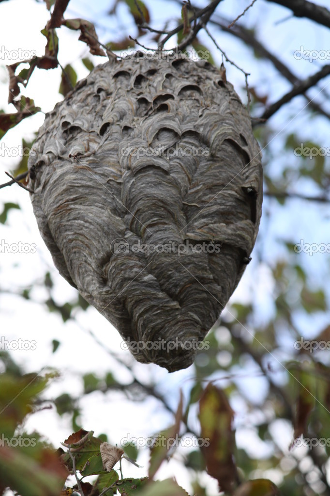 Hornets (Bold-Faced) Nest in Tree � Stock Photo � huggy1 #12625617