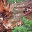 Stock Photo: Raccoons in tree stump