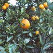 Stock Photo: Oranges on Tree