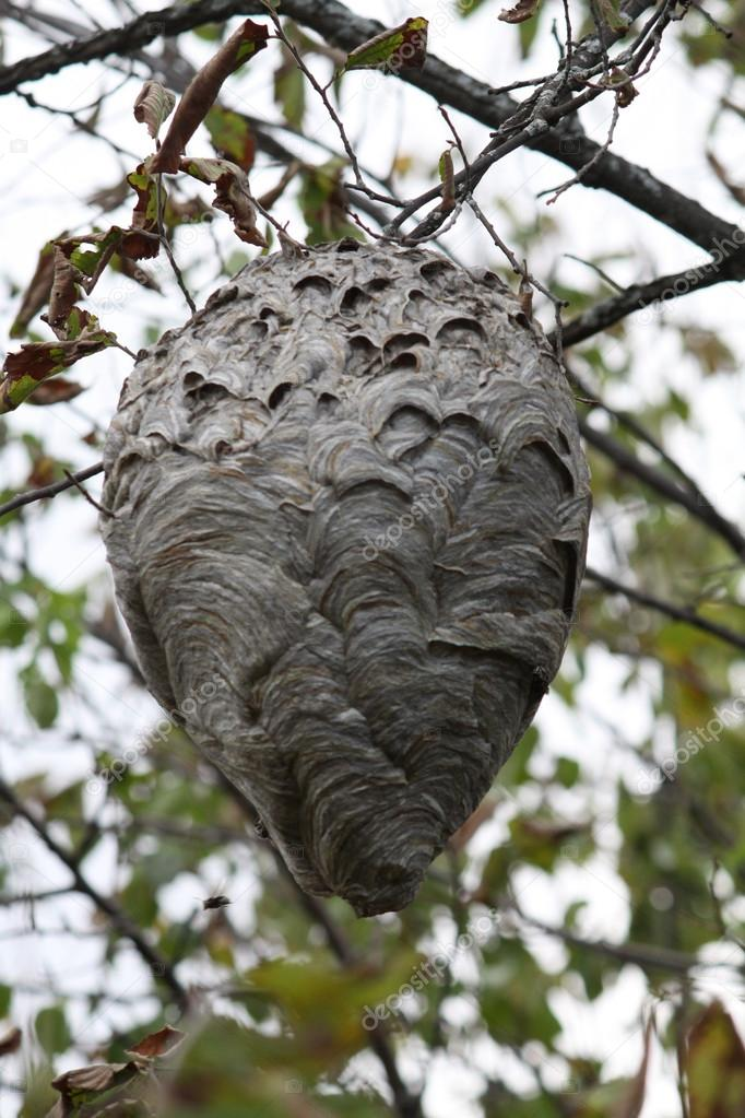 Hornets (Bold-Faced) Nest in Tree � Stock Photo � huggy1 #14582245