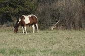 Horse (Pinto) — Stock Photo