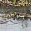 Canada Geese and Goslings — Stock Photo