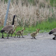 Canada Geese and Goslings on Roadway — Stock Photo