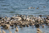 Geese and Gulls — Stock Photo