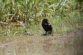 Redwing Blackbird  (Agelaius phoeniceus) — Stock Photo