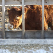 Постер, плакат: Cow in Feed Transfer Lot