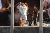 Cow in Feed-Transfer Lot — Stock Photo