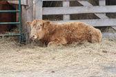 маленький коричневый бык, закладывает на соломе, ворота — Стоковое фото