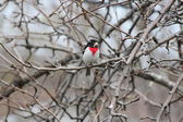 Grosbeak, Rose-breasted on Tree Branch (M) — Stock Photo