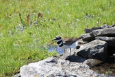 Killdeer (Charadrius vociferus) — Stock Photo