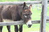 Donkey (Brown) — Stock Photo