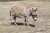 Donkey-Grey — Stock Photo