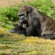 Silverback Gorilla — Stock Photo #21257837