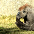 Thinking mans Gorilla — Stock Photo #21257863