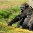 Silverback Gorilla — Stock Photo #21257889