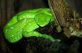 Green Pit Viper — Stock Photo