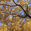 Maple tree in autumn — Stock Photo