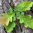 Green oak leaves — Stock Photo #48712721