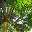Closeup of Coconut Palm fronds, trees and nuts, Fiji. — Stock Photo