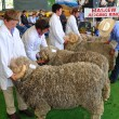 Judging the Rams at the 2012 Canterbury A&P Show, Christchurch, - Stock Photo