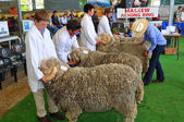 Judging the Rams at the 2012 Canterbury A&P Show, Christchurch, — Stock Photo