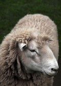 Schafe closeup aus neuseeland — Stockfoto
