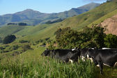 Cows appreciating a spectacular view of Akaroa Harbour — Stock Photo