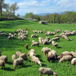 Stock Photo: Sheep on a Montefalco Farm in Umbria, Italy