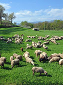 Sheep on a Montefalco Farm in Umbria, Italy — Stock Photo